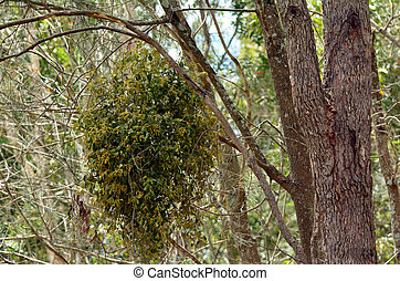 European mistletoe - GOLD COAST - OCT 22 2014:European...