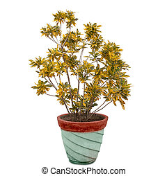 Gold dust croton plant in flower pot