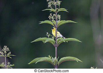 Gold FInch on a Green Plant