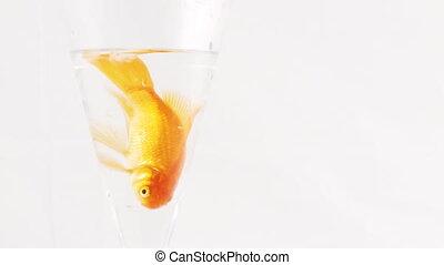 Gold Fish  -5