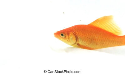 Gold Fish - 8 - Gold Fish in a bowl in High Definition 1080p...