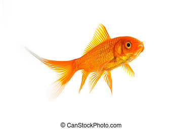 Gold fish (Carassius auratus) - A goldfish isolated on white...