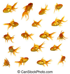 Collection of goldfish. High resolution 5000 x 5000 pixels. On clean white background.