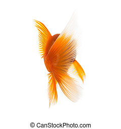 gold fish from behind - A goldfish from the rear on white ...