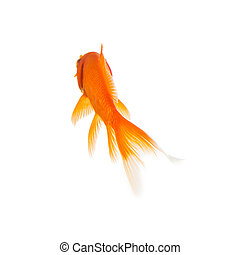Gold fish from the rear - A goldfish from behind on white. ...