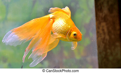 Gold fish (golden carp) isolated in aquarium
