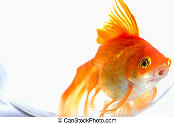 Gold Fish. - Goldfish in a bowl.