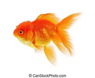 Gold fish, Goldfish Isolation on the white background