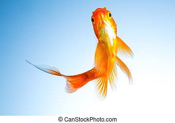 Gold fish in a fish tank - A goldfish underwater on blue ...