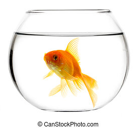 Gold fish in aquarium - Gold fish isolated on a white ...