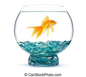 Gold fish in aquarium