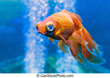 Gold fish in aquarium with water-bubbles