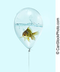 Gold fish in blue balloon on blue background isolate, Goldfish in a blue balloon with water inside