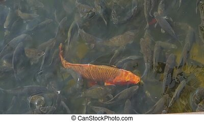 Gold fish in pond red and black farming slow motion