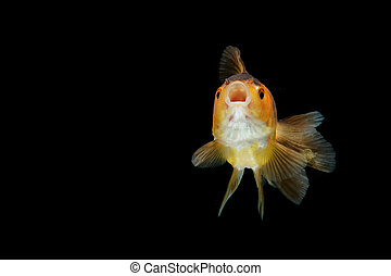 gold fish isolate on background