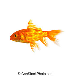 Gold fish isolated on white - A gold fish from the pet shop ...