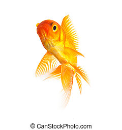 Gold fish isolated on white - A goldfish exempted on white ...