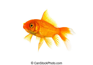 Gold fish isolated on white - A goldfish in a water tank on ...