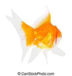 Gold fish. Isolation on the white.