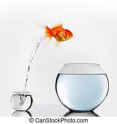 Gold fish jumping to big fishbowl - Gold fish jumping out of...