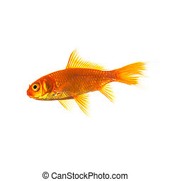 Gold fish on white - A goldfish isolated on white. Taken in ...