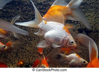 Gold fish swimming in close up