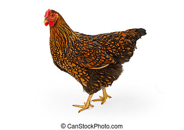 Gold Laced Wyandotte Hen Isolated on White - A profile of a...