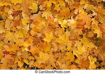 fallen leaves - gold maple fallen leaves background