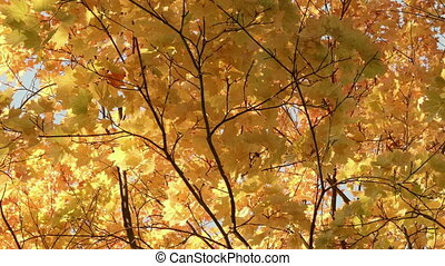 Gold maple tree in the forest. Autumn daytime. Smooth dolly shot