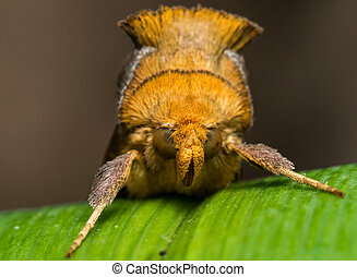Gold Moth with spiky fur on green grass