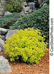 Gold Mound Spirea Landscaping Shrub