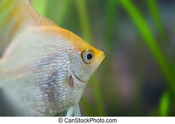 Gold pearlscale angelfish - scalare. Pterophyllum.