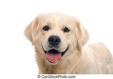 gold, posierend, studio, apportierhund