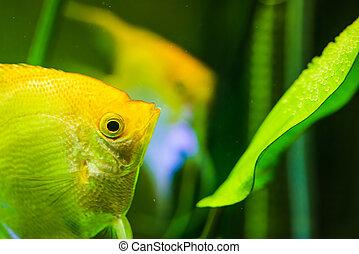Gold Pterophyllum Scalare in aqarium water, yellow angelfish...