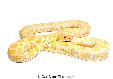 Gold Python,Abino snake on white background