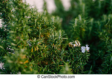 Gold rings of the bride and groom on a green background in the sprigs of rosemary.