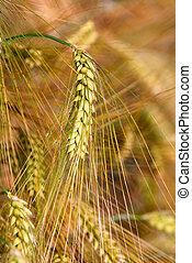 Gold rye field that has begun to ear.