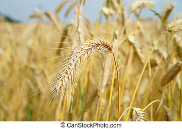 gold shining barley field
