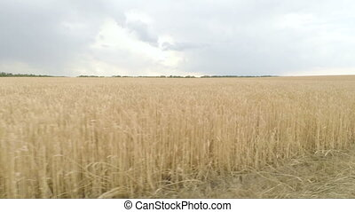 Gold spikelets of wheat in field. camera moves from left to...