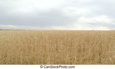 Gold spikelets of wheat in field. Camera moves from right to left