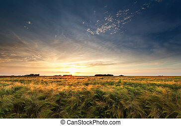 gold sunset over barley field in summer