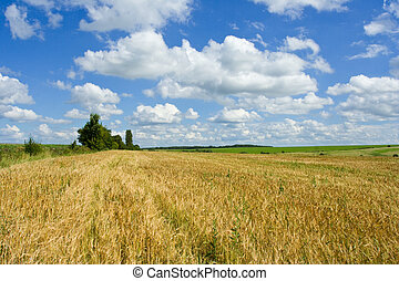 Gold wheat and blue skies