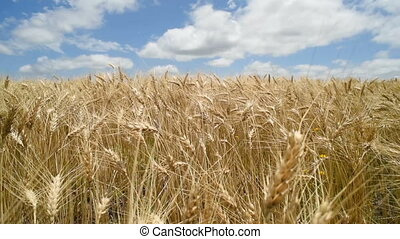 Gold wheat farm plant landscape on blue sky