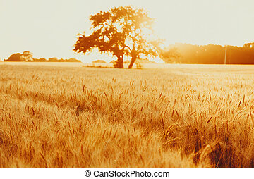 Gold wheat field against the sunset