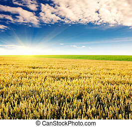 field - Gold wheat field and blue sky. Ukraine, Europe....