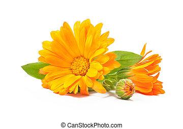 goldblume officinalis