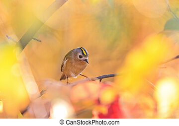 Goldcrest among autumn leaves and sun rays