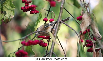 Goldcrest sits among autumn berries, wild nature