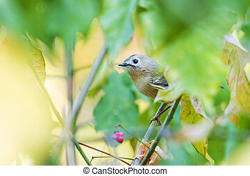 Goldcrest sitting among the leaves in the autumn forest