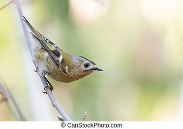 Goldcrest sitting on a branch in the autumn forest